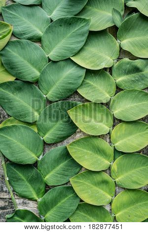 green big jumbo leaves old wall decorated in garden background