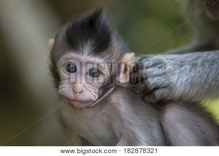 Portrait of baby monkey at sacred monkey forest in Ubud Bali Indonesia. Close up