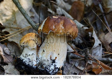 two white fungus on the dry leaves and pine needles in a pine forest