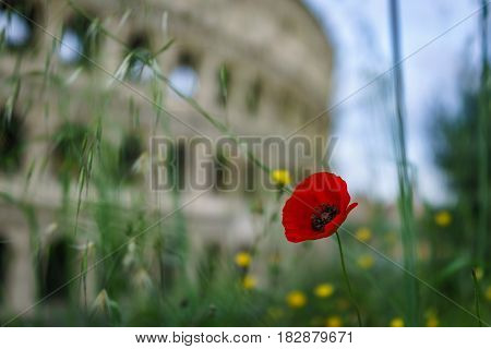 Closed up shot of red poppy flower with blurred Colosseum in the background Rome Italy