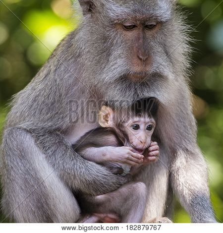 Portrait of baby monkey and mother at sacred monkey forest in Ubud Bali Indonesia. Close up