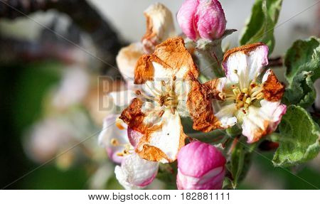 Apple Blossom Damaged By Morning Frost In Region Of Prespa,macedonia