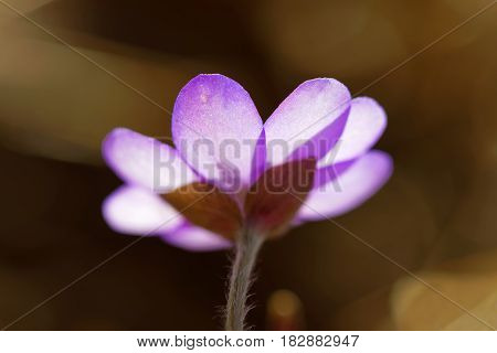 Rear view of backlit blue anemone brown background. Very short depth of focus
