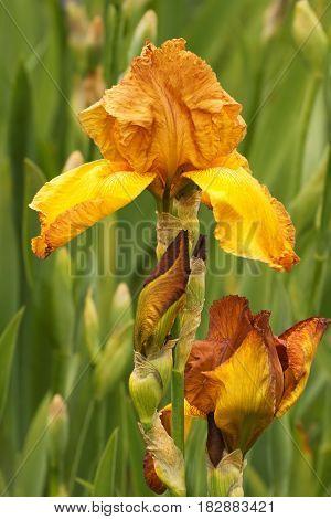 Iris (Iris L.) flowers in garden in the open air