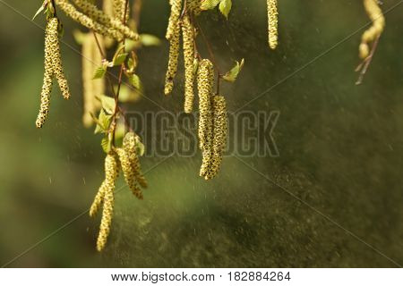 Birch (betula Pendula), Silver Birch Spreading Pollen