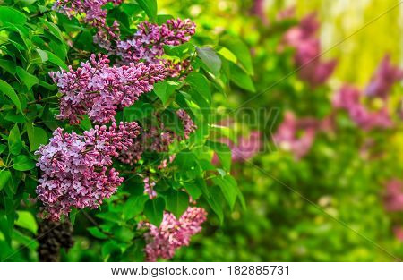 Purple Lilac Blossom In Garden At Springtime