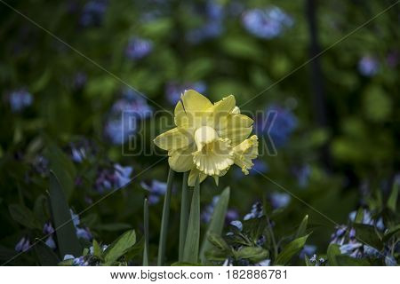 Flowering daffodils. Blooming yellow narcissus flowers. Spring flowers. Shallow depth of field. Selective focus