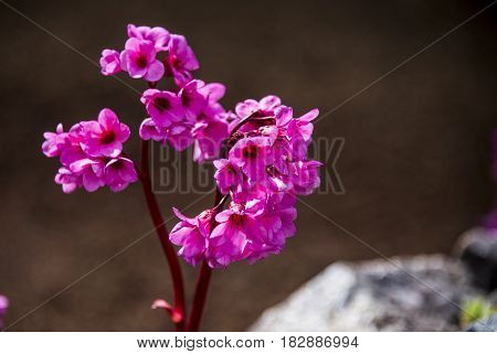 Closeup of spring flowers of blooming stone tree.