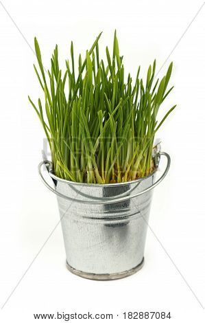 Spring Green Grass Growing In Bucket Over White