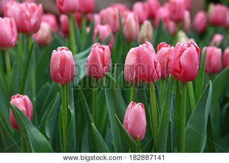 Pink Tulip Flowers With Green Leaves