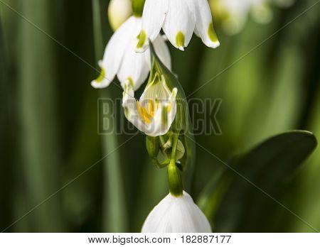 White snow drops early spring white wild flower,