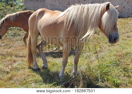 Haflinger pony with very long mane in a field