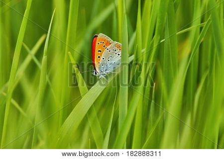 Scarce Copper (Lycaena virgaureae) Butterfly hidden between the blades of grass as background