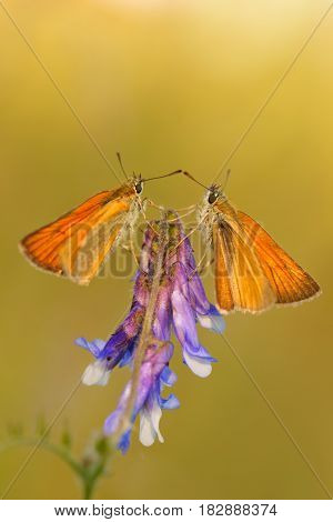 Small Skipper (Thymelicus sylvestris) two butterflies on purple flower