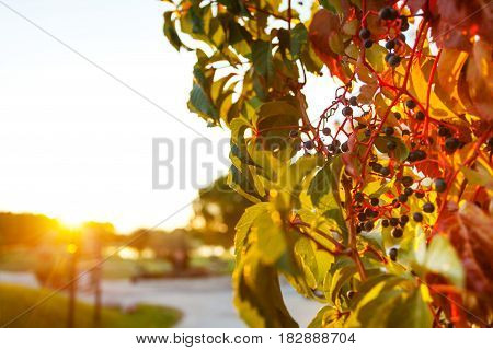 Close-up picture of colorful creeper grapevine with berries in late afternoon sunlight