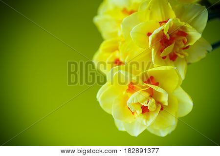 Bouquet of yellow daffodils on a green background