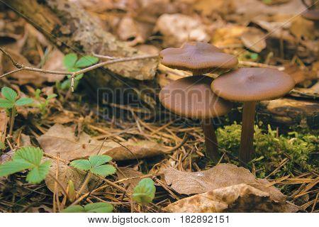 Mushrooms Entoloma Holoconiota seen in March at Ukraine
