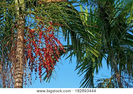 Cuban royal palm with fruits (seeds) in different stages of ripening