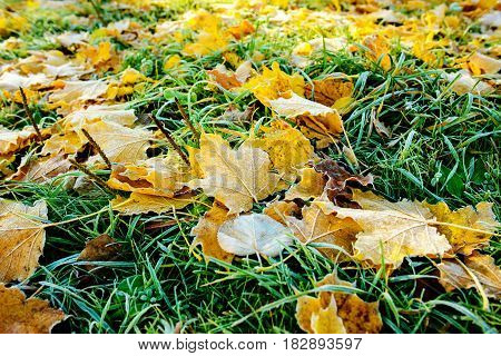 Brightly Colored Autumn Leaves With Dusting Of Frost