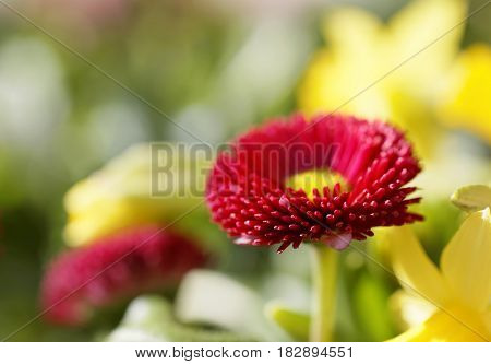 Red oxeye flower (Latin: Bellis). Very short depth of focus
