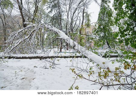 Chisinau, Republic Of Moldova - April 20, 2017: Tree Branch With Green Spring Leaves Broken By Heavy