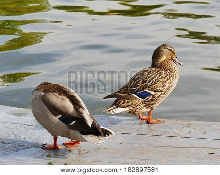 Mallard duck pair on the dock near a lake