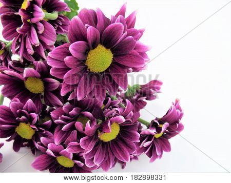 A bunch of burgundy flowers on white background.