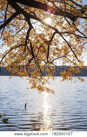 Maple tree with yellow leaves over the lake with sun light in lake johnson raleigh NC
