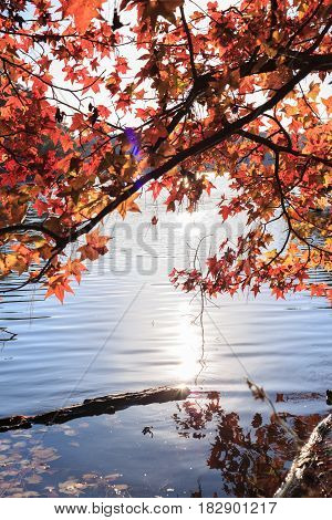 Maple tree with red leaves over the lake with sun light in lake johnson raleigh NC