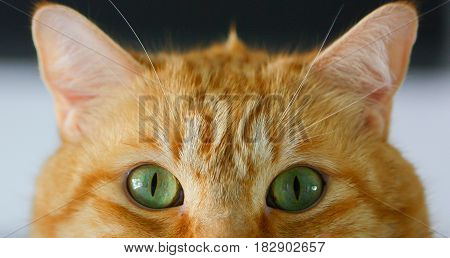 Orange Tabby Cat With Green Eyes Up Close