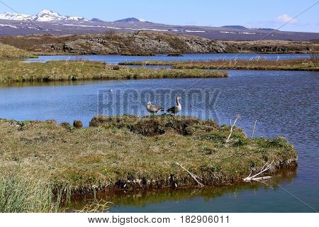 Grey goose on a lake in Iceland