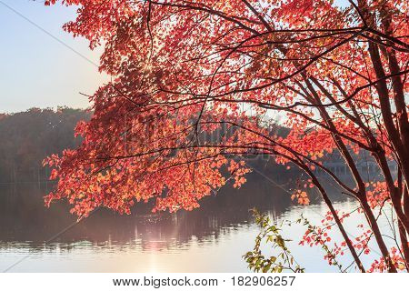 Red maple leaves uder sun light in lake Johnson in Raleigh NC fall season