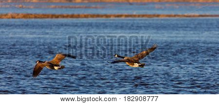 Canada Geese (branta canadensis) flying over a blue lake in April