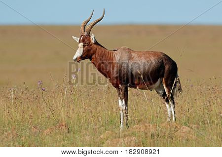 A blesbok antelope (Damaliscus pygargus) standing in grassland, South Africa