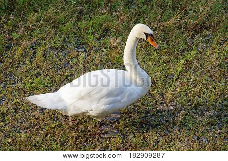 picture shows a Proud swan  on the meadow