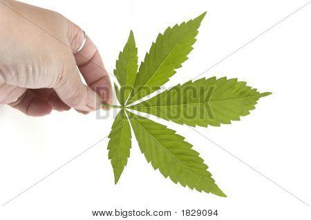 Marijuana Leaf Held