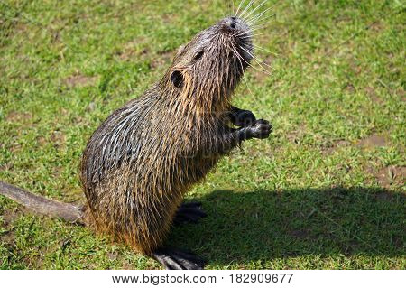 the picture shows wild living nutria on the meadow