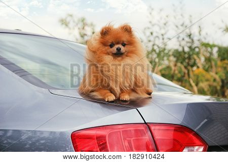 Portrait of cute pomeranian dog. Dog in a car