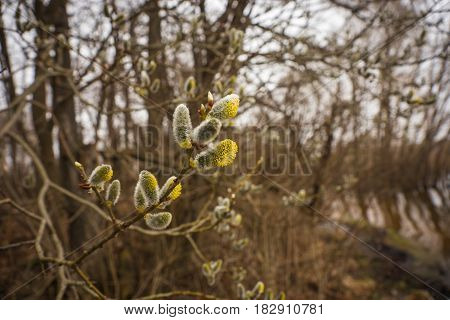 A Branch Of Pussy-willow With Fresh Fuzzy Buds In Springtime