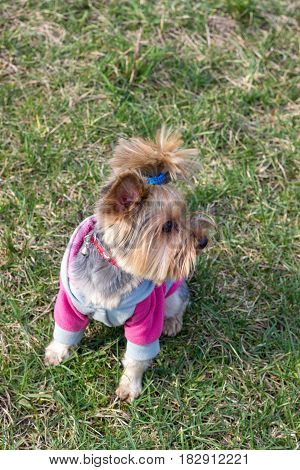 Yorkshire Terrier portrait close-up on green grass.