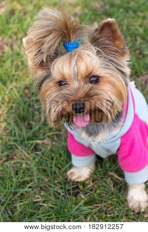 The dog of Yorkshire Terrier sitting on grass.