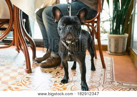 French bulldog of brindle color in a cafe