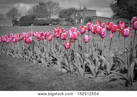 Vibrant pink tulips against a colour desaturated formal garden background