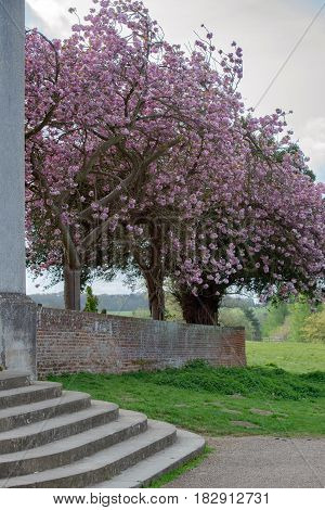 Spring blosson on a tree outside Ickworth church at Ickworth in Suffolk.