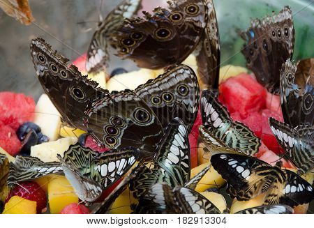 Giant Owl Butterflies Feeding Of Fruits
