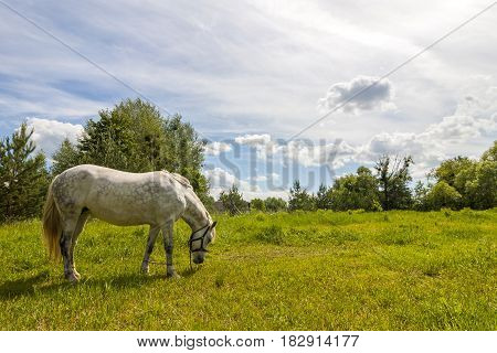 Beautiful white horse on pasture with green grass