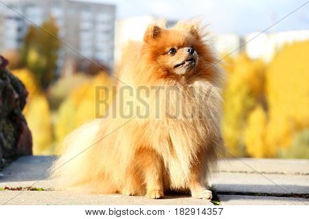 Pomeranian dog on a walk. Pomeranian dog in autumn park.