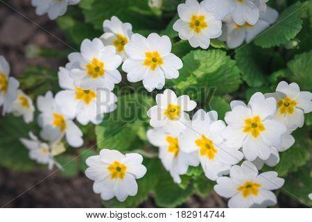 primrose in spring field closeup