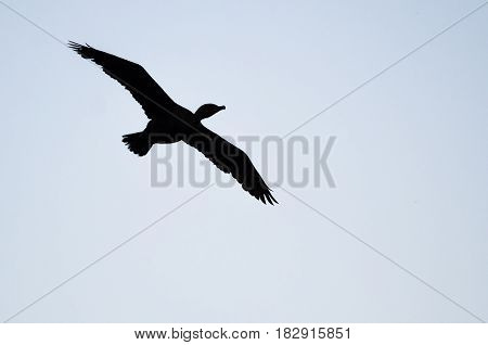 Silhouetted Double-Crested Cormorant Flying in the Evening Sky