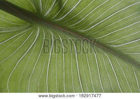 leaf of calla closeup abstract natural texture